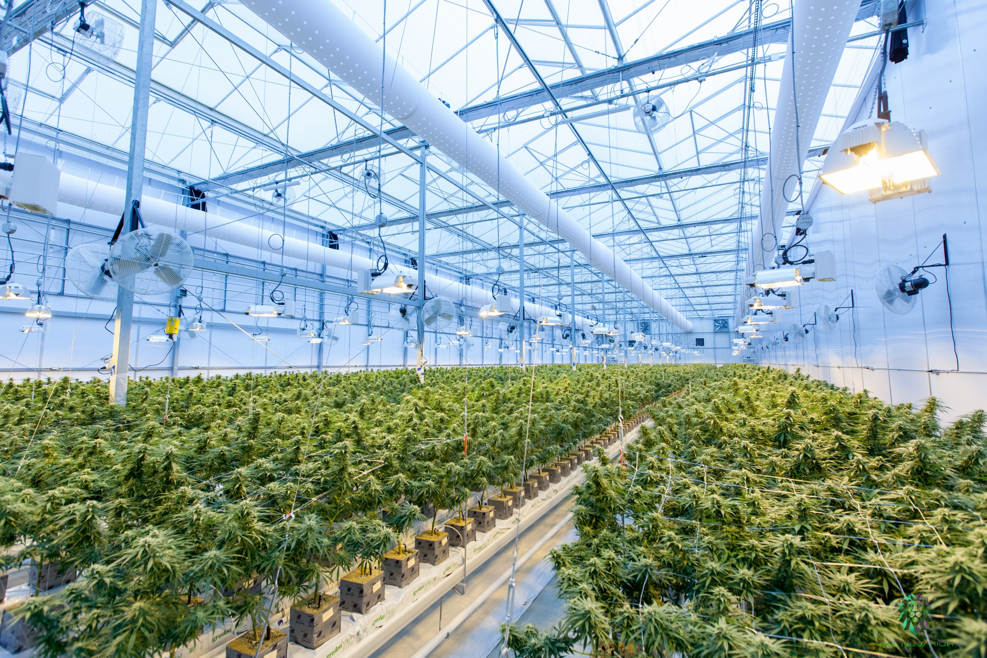 cbd oil benefits hemp plant cannabis plant
