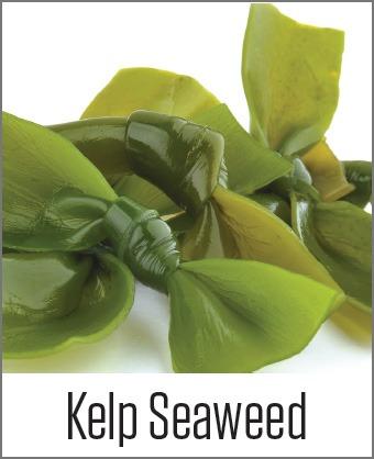 MOA Kelp Seaweed