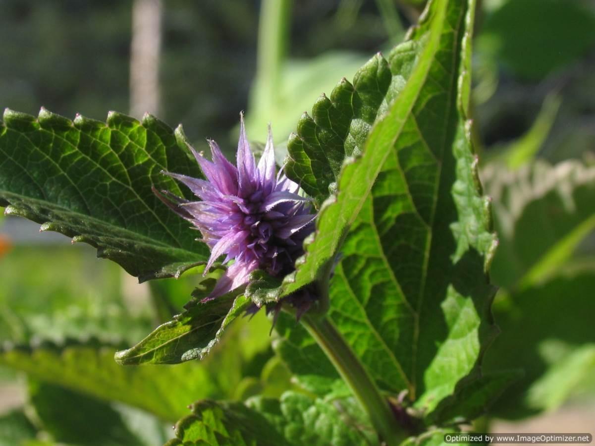 anise hyssop herb