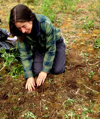 gathering spruce roots